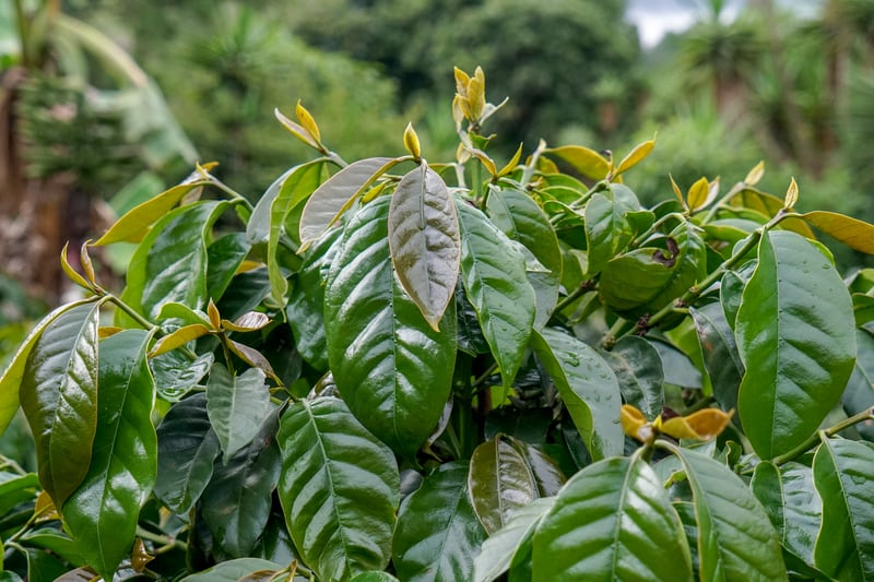 Cà phê SHG là gì? đặc điểm của cà phê Strictly High Grown (SHG)