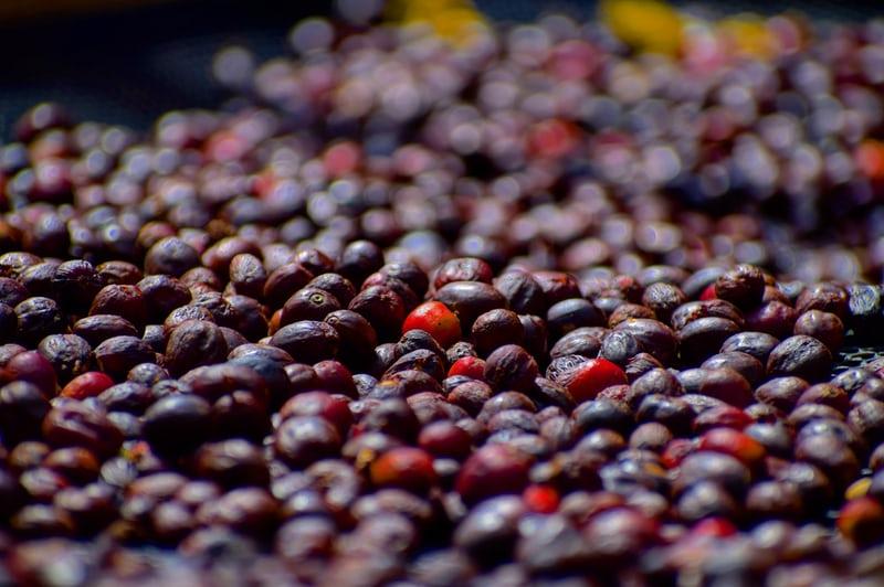 Chế biến khô là gì? Phương pháp chế biến cà phê khô| PrimeCoffee