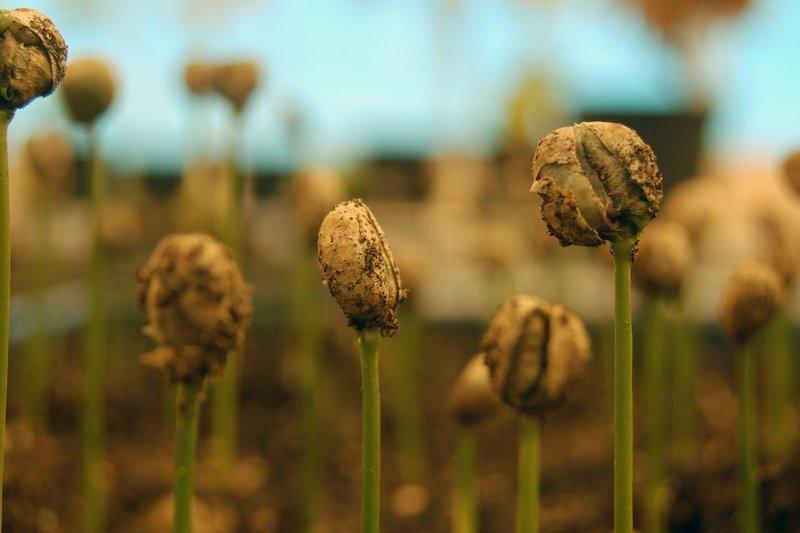 Read more about the article Nguồn gốc & Đặc điểm các giống cà phê phổ biến | PrimeCoffee