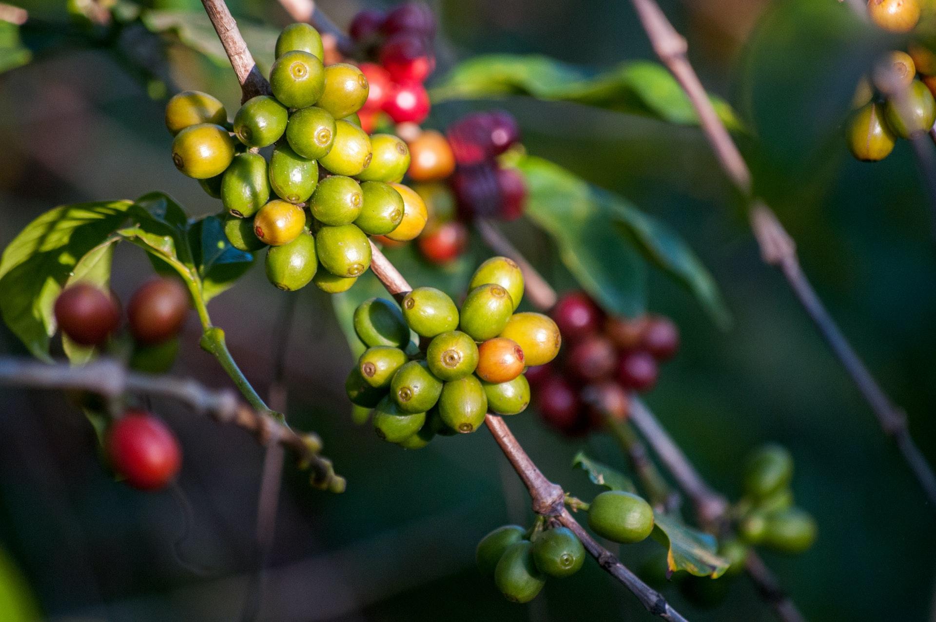 Cà phê Arabica – Nguồn gốc & Đặc điểm sinh vật học | PrimeCoffee