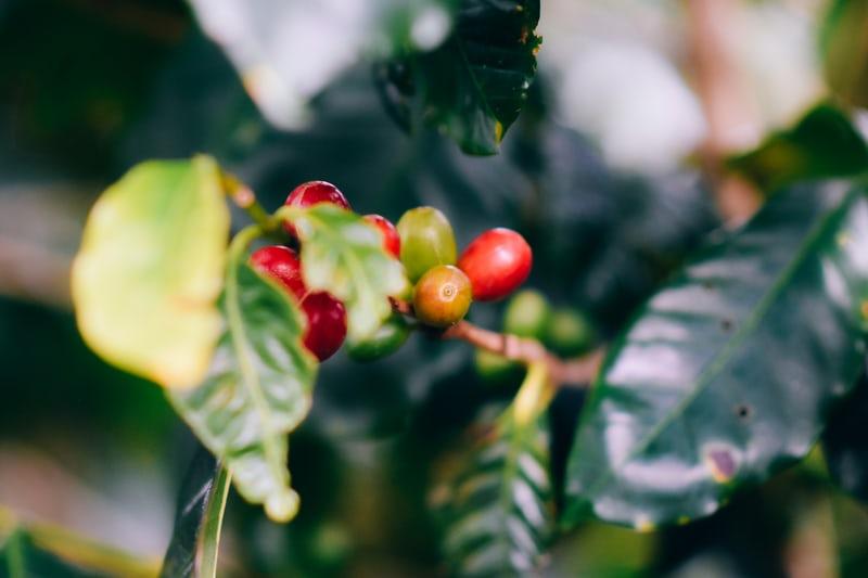 Cà phê Arabcia – Nguồn gốc & Đặc điểm sinh vật học | PrimeCoffee
