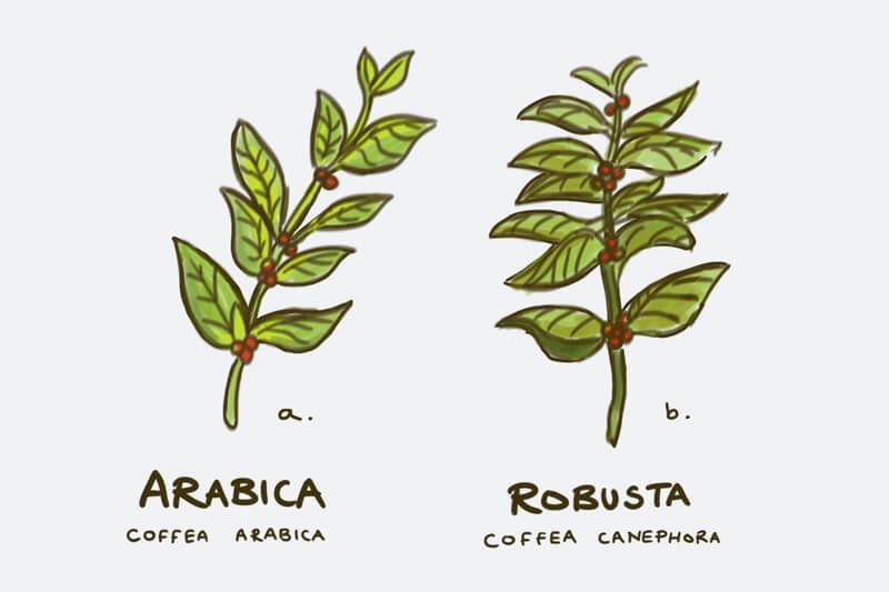 So sánh cà phê Arabica và Robusta | PrimeCoffee