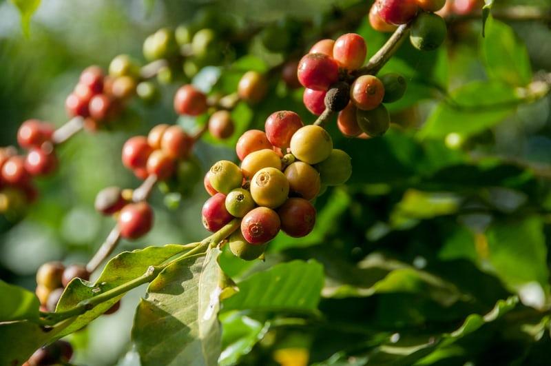 Cơ hội cho cà phê đặc sản C. canephora | PrimeCoffee