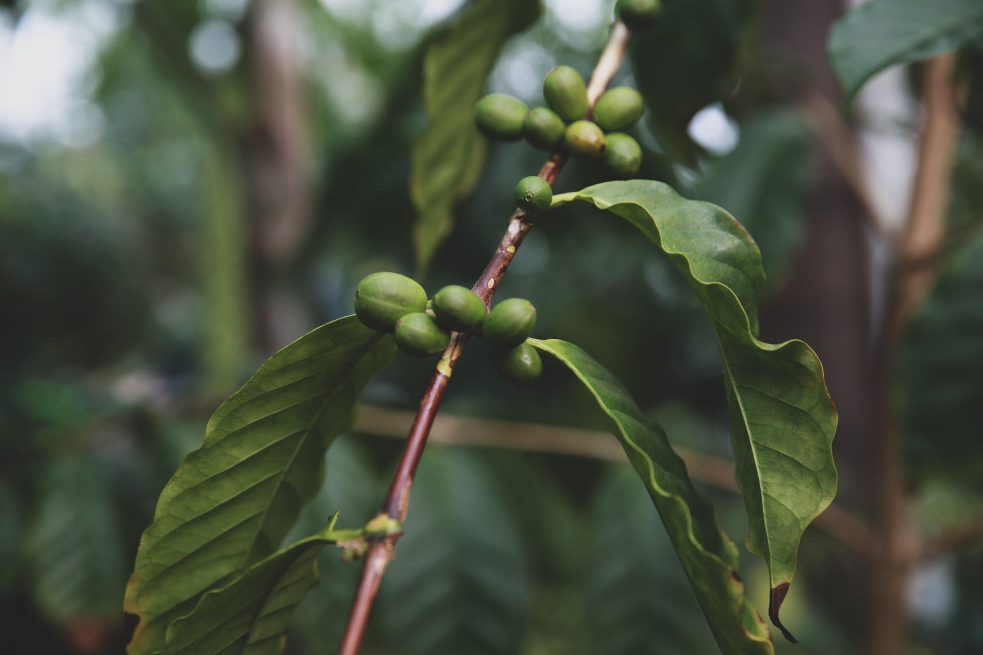 Read more about the article Cà phê Liberica -Nguồn gốc & Đặc điểm sinh vật học