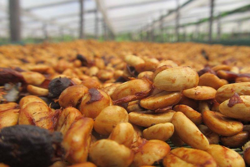 Làm khô cà phê; Tổng quan về quá trình phơi, sấy | PrimeCoffee