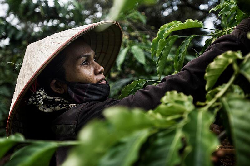 Sự phát triển của cây cà phê Robusta Việt Nam | PrimeCoffee
